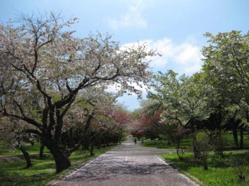 2013.05.26 『道の駅 YOU・遊・もり』オニウシ公園 桜