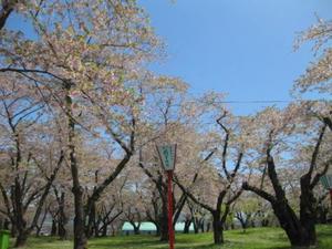 2013.05.26 青葉ヶ丘公園 桜