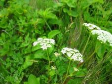 セリ科の植物