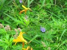 澄海岬(スカイ岬)→スコトン岬で咲いていた花