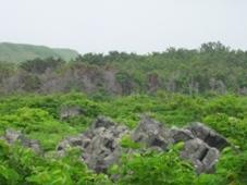 利尻島 ウミネコのコロニー