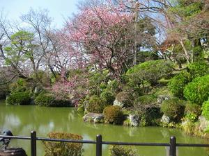 清水寺にある池と桜