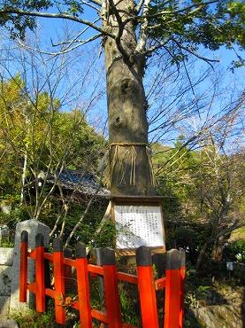 熊野若王子神社の樹齢400年の梛のご神木
