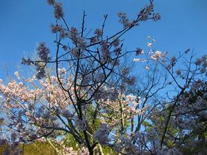 京都 南禅寺 桜