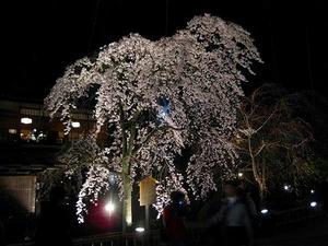 京都 祇園 白川南通り ライトアップ