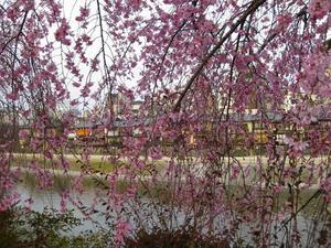 京都 川端通り 鴨川沿いの紅枝垂れ桜