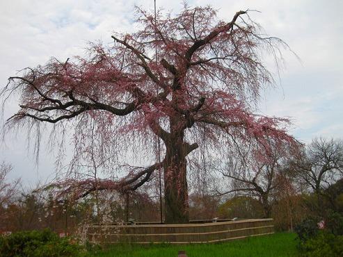 京都 円山公園の枝垂れ桜