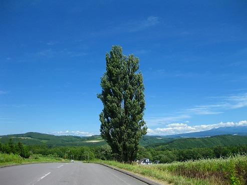 美瑛 パッチワークの丘/ケンとメリーの木