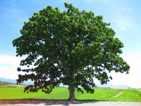 美瑛 パッチワークの丘/セブンスターの木
