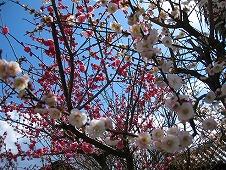 広島観光/広島県竹原/竹原街並み保存地区/地蔵堂の桜