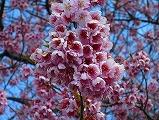 広島観光/広島県尾道/千光寺山・千光寺公園の桜