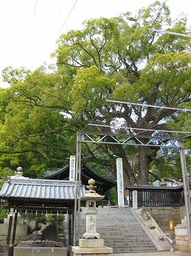 広島観光/広島県尾道/艮神社の楠木(クスノキ)