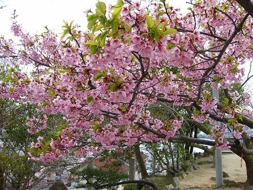 広島観光/広島県尾道/満開の桜