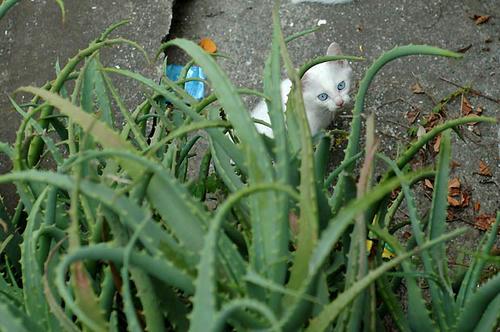 青い目の白猫 子猫