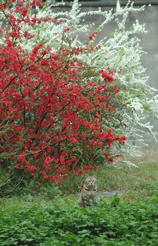 猫と雪柳とボケ