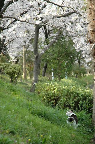白黒猫と桜