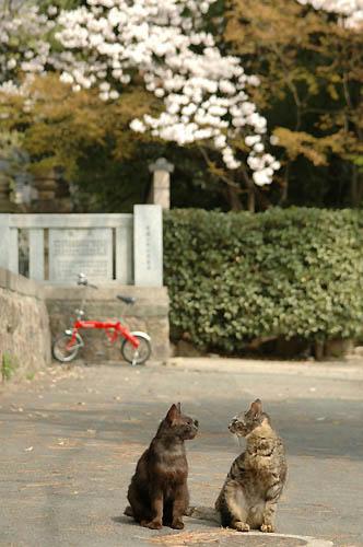 黒猫&キジトラ&桜