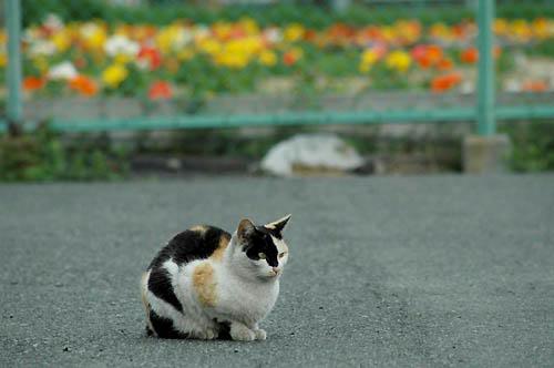 三毛猫とポピー