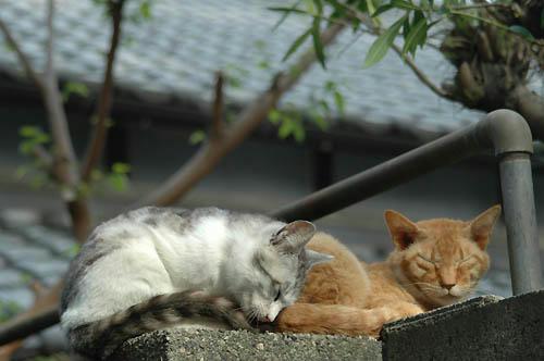 ボス茶トラとサバ白子猫