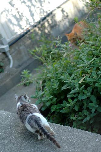 サバ白子猫と茶トラ