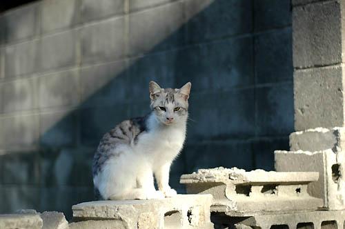 サバ白子猫
