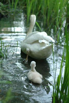 白鳥の赤ちゃんとお父さん?