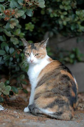 シマ三毛猫