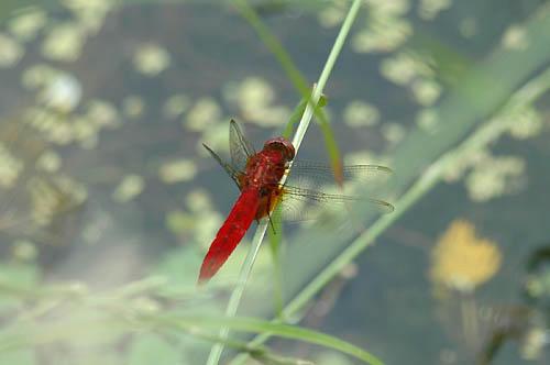 赤いトンボ