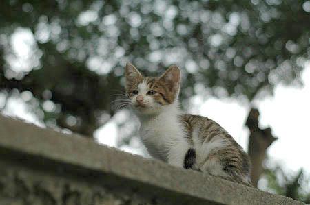 キジ白子猫 あくび
