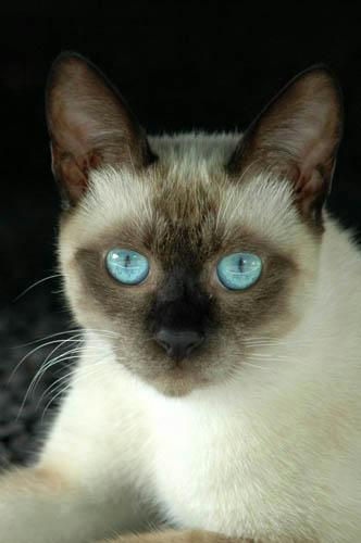 青い目のシャムネコ