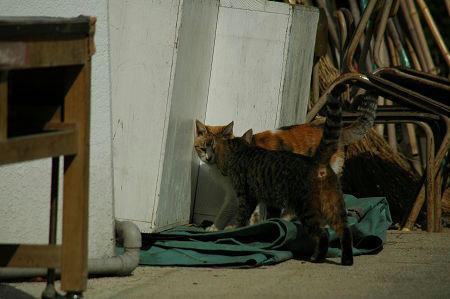三毛猫、キジトラ