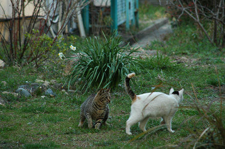 キジトラ、三毛猫