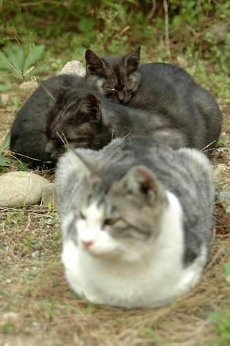 サバ白、黒スモーク、子猫