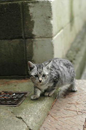 サバトラ子猫