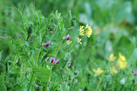 菜の花とカラスノエンドウ