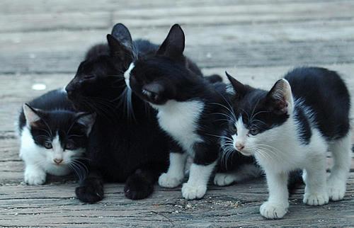黒猫かあさんと白黒はちわれ3兄弟