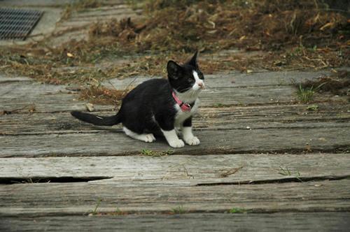 白黒はちわれ子猫