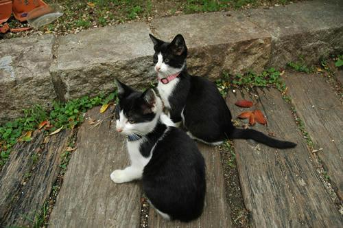 白黒はちわれ子猫兄弟