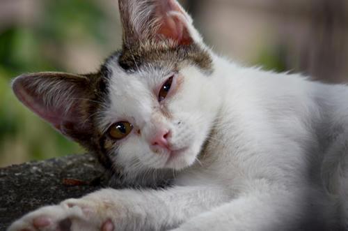 キジ白・子猫