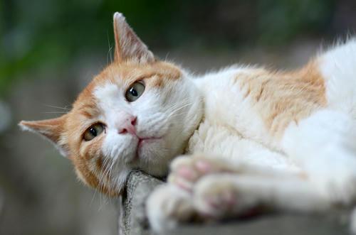 茶白猫ペロちゃん