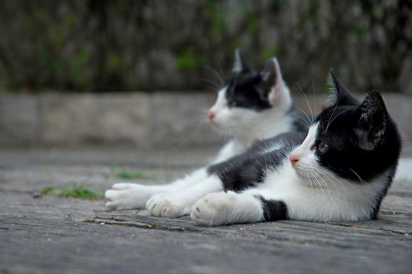 はちわれ猫子猫