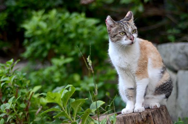 縞三毛猫サイちゃん