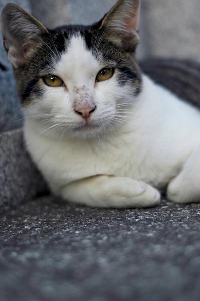 キジ白猫マーちゃん