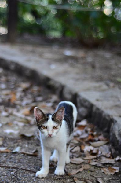 キジ白子猫・なっちゃん