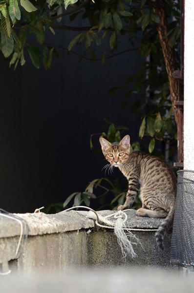 キジトラ猫・子猫