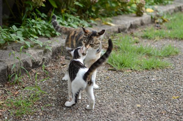 縞ミケ猫キジ白猫子猫・トモちゃんとなっちゃん