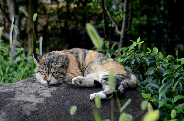縞三毛猫・トモちゃん