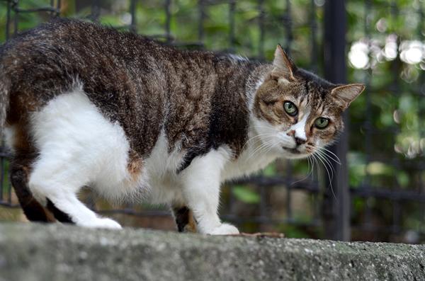 キジ白猫ミーちゃん