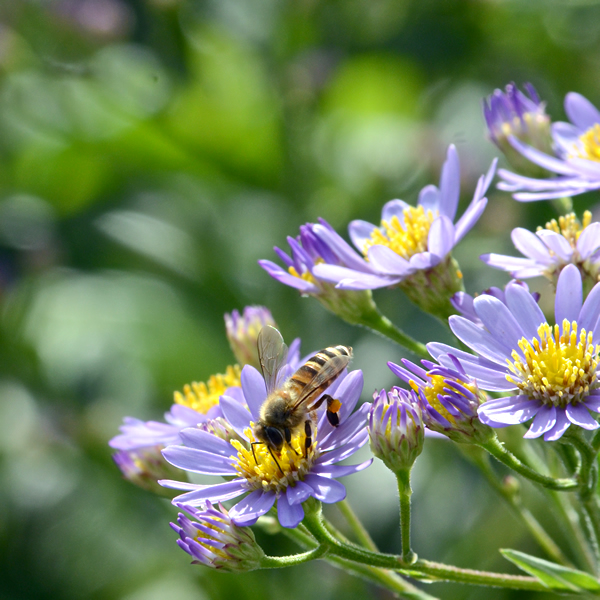 アスター・蜜蜂