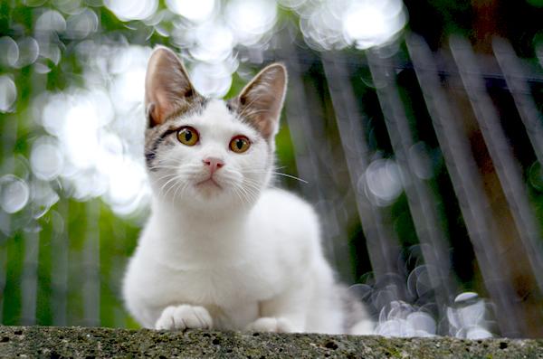 キジ白猫子猫・なっちゃん